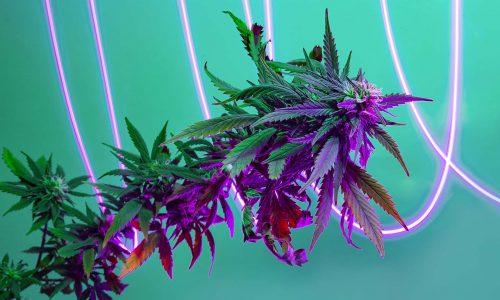 Purple flowering marijuana plant with halogen fluorescent light effect traces. Cannabis hemp with freezelight on turquoise background. New progressive futuristic look of medicinal marijuanna plant