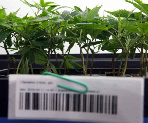 A bar code at Utopia in Soquel identifies a plant in a system that allows manufacturers and regulators to track the inventory and movement of cannabis and cannabis products - from cultivation to sale. (Shmuel Thaler — Santa Cruz Sentinel)